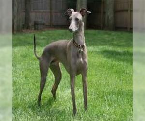 Small #4 Breed Italian Greyhound image