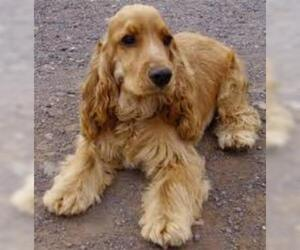Small #5 Breed Cocker Spaniel image