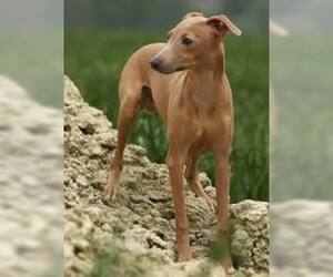 Small #5 Breed Italian Greyhound image