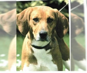 Image of Beagle Harrier Breed