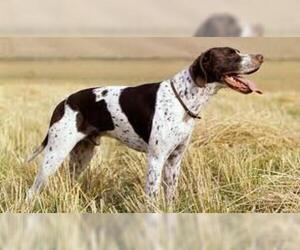 Small #3 Breed Pointer image