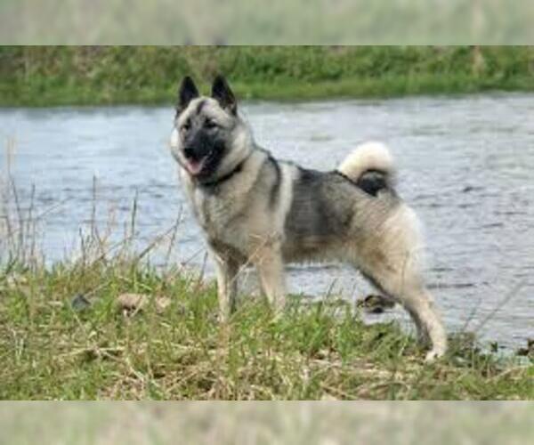 Medium Photo #2 Norwegian Elkhound Dog Breed