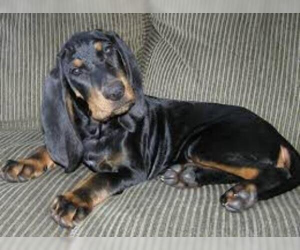 Medium Photo #3 Black and Tan Coonhound Dog Breed