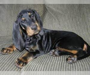 Small #2 Breed Black and Tan Coonhound image