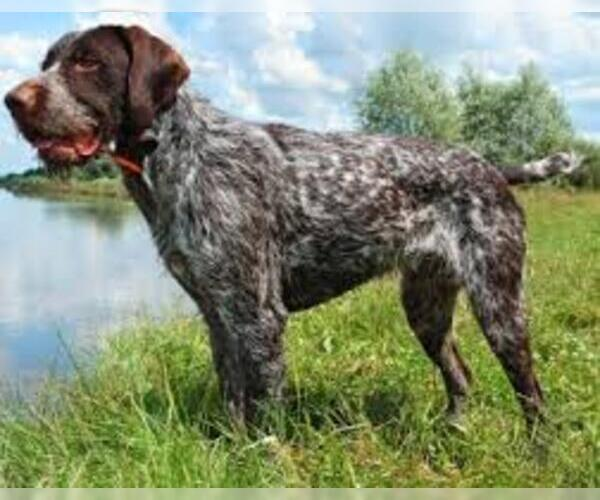 Full screen Photo #4 German Wirehaired Pointer Dog Breed
