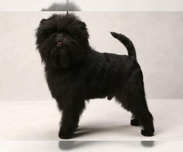 Medium Photo #7 Affenpinscher Dog Breed