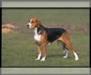 Samll image of American Foxhound