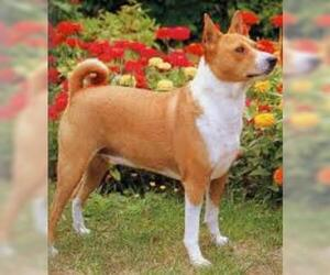 Small #5 Breed Basenji image