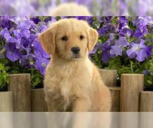 Small #3 Breed Labrador Retriever image