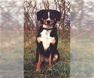 Image of Appenzeller Sennenhund Breed