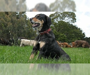 Image of New Zealand Huntaway breed
