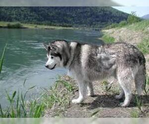 Small #1 Breed Siberian Husky image