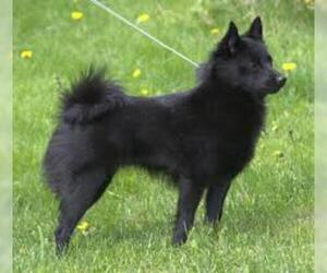Small #2 Breed Schipperke image