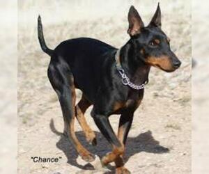 Small #4 Breed Manchester Terrier (Standard) image
