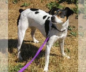 Image of breed Rat Terrier