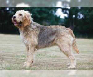 Small #5 Breed Otterhound image