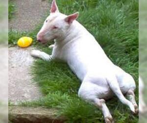 Small #5 Breed Bull Terrier image