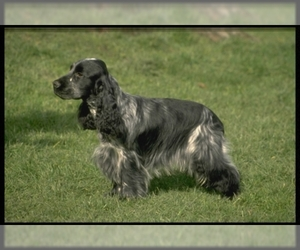 Samll image of English Cocker Spaniel