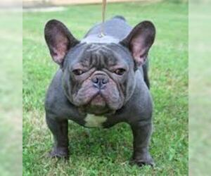 Small #6 Breed French Bulldog image