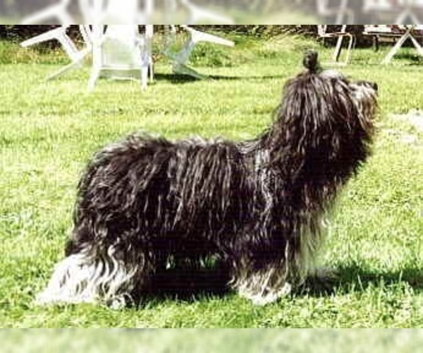 Image of Dutch Sheepdog Breed
