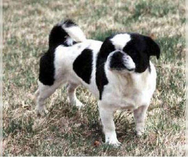 Image of American Lo-Sze Pugg Breed