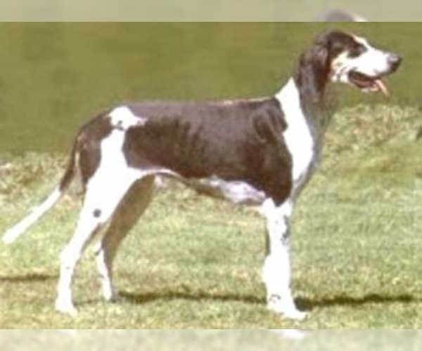 Image of French White & Black Hound Breed