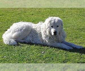 Samll image of Maremma Sheepdog
