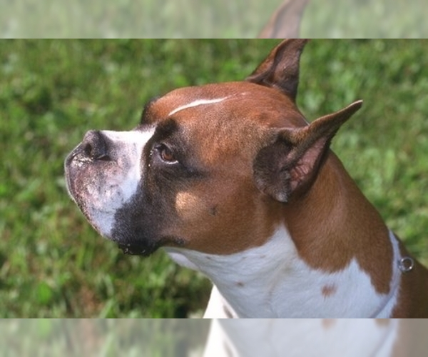 Image of Boxer Breed