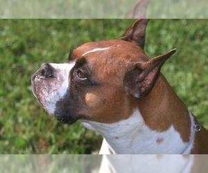 Image of breed Boxer