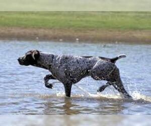 Small Photo #3 German Wirehaired Pointer Dog Breed