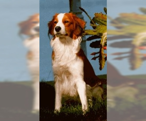 Image of Small Dutch Waterfowl Dog Breed