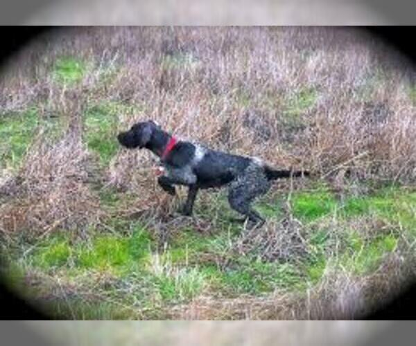 Full screen Photo #6 German Wirehaired Pointer Dog Breed