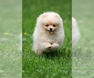 Small #1 Breed Miniature Spitz image