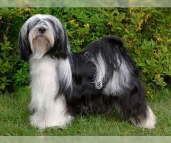 Medium Photo #5 Tibetan Terrier Dog Breed