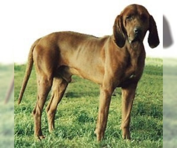 Image of Redbone Coonhound Breed