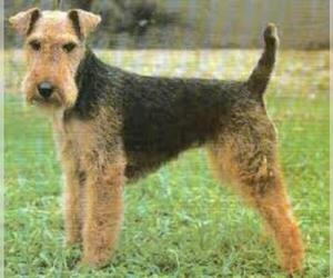 Small #1 Breed Welsh Terrier image