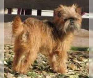 Small #5 Breed Brussels Griffon image