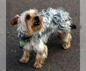 Small #3 Breed Silky Terrier image