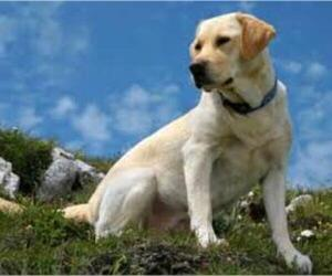 Small #5 Breed Labrador Retriever image