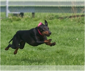 Image of Manchester Terrier (Standard) breed