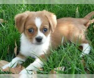 Peagle Breed Information And Pictures On Puppyfinder Com