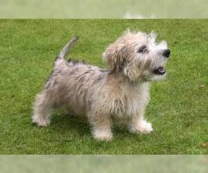 Small #3 Breed Glen of Imaal Terrier image