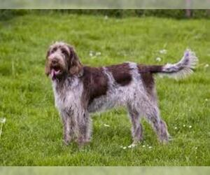 Small #2 Breed Spinone Italiano image