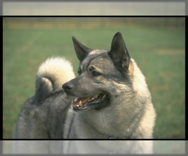 Image of Norwegian Elkhound Breed