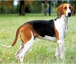 Great Anglo-French Tricolored Hound