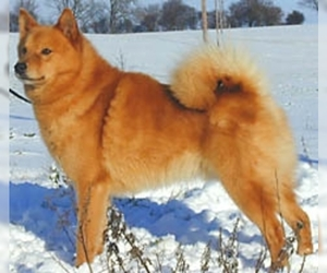 Samll image of Finnish Spitz