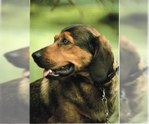 Image of Alpine Dachsbracke breed