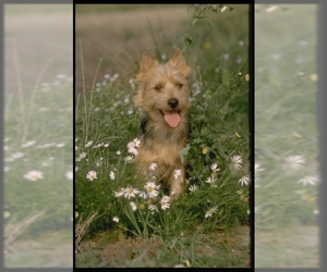 Samll image of Silky Terrier