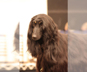 Small Photo #3 Afghan Hound Dog Breed