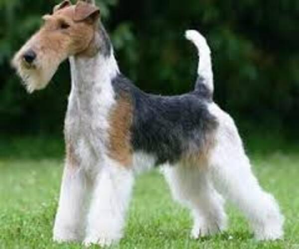 Medium Photo #2 Wire Fox Terrier Dog Breed